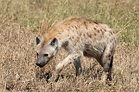 Spotted Hyena, Crocuta crocuta, approaches a cheetah kill in Serengeti National Park, Tanzania
