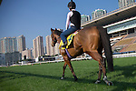SHA TIN,HONG KONG-DECEMBER 09: Growl,trained by Richard Fahey,exercises in preparation for the Hong Kong Sprint at Sha Tin Racecourse on December 9,2016 in Sha Tin,New Territories,Hong Kong (Photo by Kaz Ishida/Eclipse Sportswire/Getty Images)