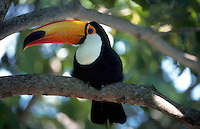 A Toucan (Ramphastidae) resting on a limb. Brazil.