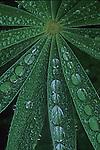 Lupine leaf with rain