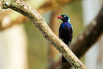 Splendid Glossy-Starling (Lamprotornis splendidus) carrying fruit, Kibale National Park, western Uganda