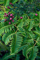 Pukiawe<br />   and uluhe (false staghorn fern)<br /> Hawaii Volcanoes National Park<br /> Island of Hawaii, Hawaii