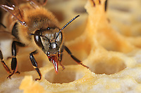 Bee on a honey comb.