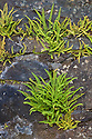 Maiden-hair Spleenwort {Asplenium trichomanus}, Isle of Mull, Scotland, UK. June.