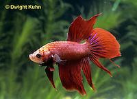 BY02-005z  Siamese Fighting Fish - male - Betta splendens