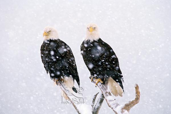 Bald Eagles (Haliaeetus leucocephalus) in heavy  winter snowstorm.