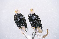 Bald Eagles (Haliaeetus leucocephalus) in heavy  winter snowstorm.