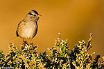 Emberizid Sparrows