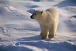 Portrait of a polar bear cub standing on the snow in Canada.