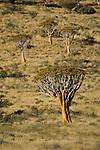 Quiver tree or Kokerboom (Aloe dichotoma). Namibrand Nature Reserve, on the edge of the Sossusvlei dunes, Namib Desert, Namibia.