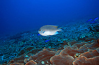 Spotted angelfish, male, Genicanthus takeuchi, Chichi-jima, Bonin Islands, Ogasawara, Tokyo, Japan, Pacific Ocean