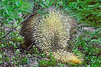 Porcupine.  Defensive posture.
