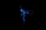 Flyingfish Atlantic Cheilopogon melanurus, found in the Gulf Stream Current, SE Florida, Vertical migration creatures of the night underwater