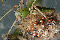 Green Lynx Spiderlings as they first emerge from the egg sac.