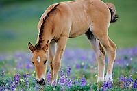 Wild Horse colt among lupines.  Western U.S., summer..(Equus caballus)