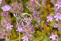 Blattschneiderbiene, Mörtelbiene, Blattschneiderbiene, Männchen beim Blütenbesuch an Thymian, Nektarsuche, Megachile spec., Blattschneiderbienen, Tapezierbienen, Mörtelbienen, leafcutter bees, leafcutter bee, leafcutterbees, leafcutter-bee, male visiting a flower