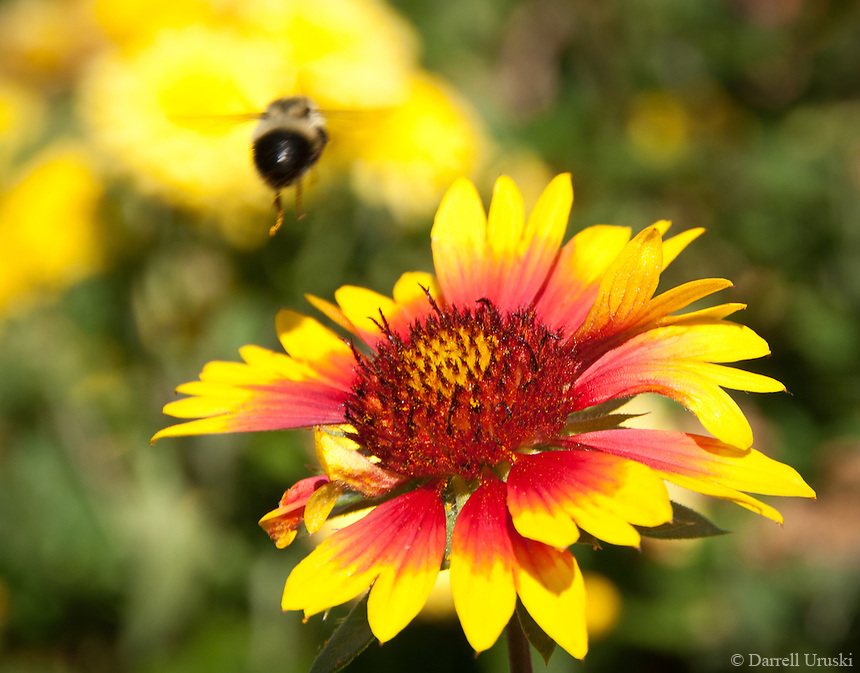 Macro photo of a bee flying to the next flower to collect more pollen.