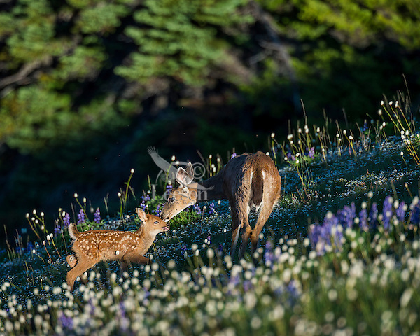 Columbian black-tailed deer (Odocoileus hemionus columbianus) doe greeting her young fawn among wildflowers--lupine and bistort in subalpine meadow.  Pacific Northwest.  Summer.