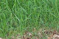 Hundsquecke, Hunds-Quecke, Quecke, Agropyron caninum, Elymus caninus, Elytrigia canina, bearded wheat grass bearded couch