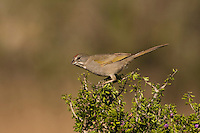 Green-tailed Towhee (Pipilo chlorurus) adult perched on shrub, Starr County, Rio Grande Valley, South Texas, USA