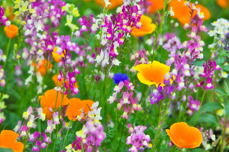 Mixed wildflowers. Garden plot at the University of Oregon