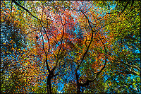 A colorful fall tree  canopy in Central Park.