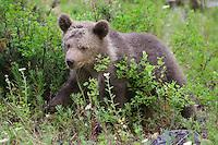 Grizzly bear cub walking through some underbrush - CA