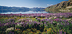 lupin flowers at Lake Hawea Otago Region New Zealand.