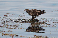 Seeadler, See-Adler, Adler, rupft Möwe an der Meeresküste auf Tang, Haliaeetus albicilla, white-tailed eagle