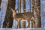 White-tailed doe in a winter forest.