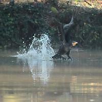 A great cormorant - Phalacrocorax carbo - that is soaring. This is a little lake in villa Ada, in a winter early morning (Rome, 2020). -- Un cormorano che si sta alzando in volo, in un laghetto di villa Ada, in una mattina invernale sul presto (Roma, 2020).
