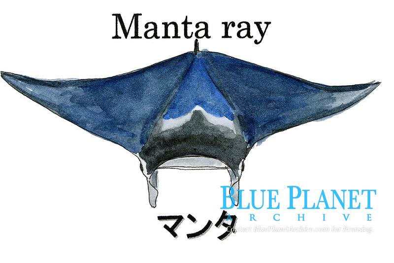reef manta ray, Mobula alfredi, Palau, Micronesia. Illustration