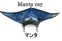reef manta ray, Manta alfredi, Palau, Micronesia. Illustration