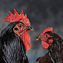 17/06/08 - DOMAIZE - PUY DE DOME - FRANCE - Elevage de la Ferme de Poule Rousse de Florence et de Franck FAYOLLE. Combattant Nain Indien - Photo Jerome CHABANNE
