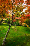 Colorful Japanese maple tree, Acer palmatum, in a beautiful mossy autumn nature scenery in a garden on Tofuku-ji temple grounds. Kyoto, Japan 2017. Image © MaximImages, License at https://www.maximimages.com