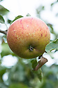 Apple 'Cox's Orange Pippin', mid September. An English dessert apple generally regarded as having one of the best flavours of all. Raised in about 1825 by Richard Cox in Slough, Buckinghamshire.