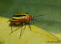 "0625-0802  Four-lined Plant Bug ""Herb, Flower, and Crop Pest"" - Poecilocapsus lineatus - © David Kuhn/Dwight Kuhn Photography"