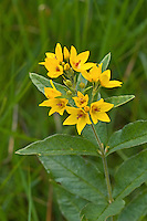 Gewöhnlicher Gilbweiderich, Gilb-Weiderich, Felberich, Weiderich, Lysimachia vulgaris, garden loosestrife, yellow loosestrife, garden yellow loosestrife, Lysimaque commune, grande lysimaque