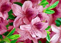 bright pink azalea flowers on bush. landscape, gardening, flowering, flower, petals, garden, shrub, plant. Canada British Columbia.