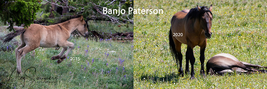 Banjo Patterson as a foal and now a band stallion, if only just one mare, Sofia.