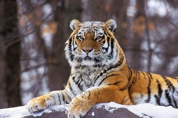 Siberian Tiger (Panthera tigris altaica), Endangered Species.