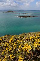 Ginster an der Felsküste, Insel Herm, Kanalinseln