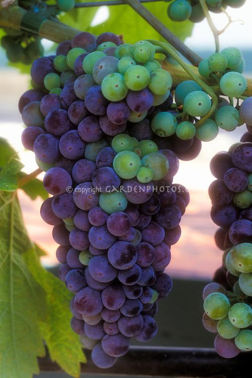 Vitus 'Syrah' wine grapes growing, fruits hanging on vine aka Shiraz
