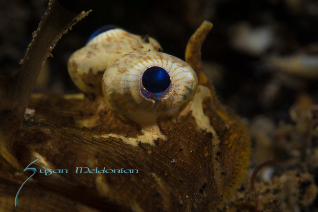 Carpet sole,Liachirus melanospilus