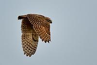 Burrowing Owl, Texas roadside near Marathon