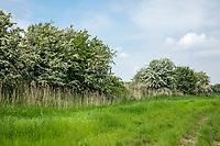 Mature hawthorne in flower near environmental strip - Lincolnshire, June