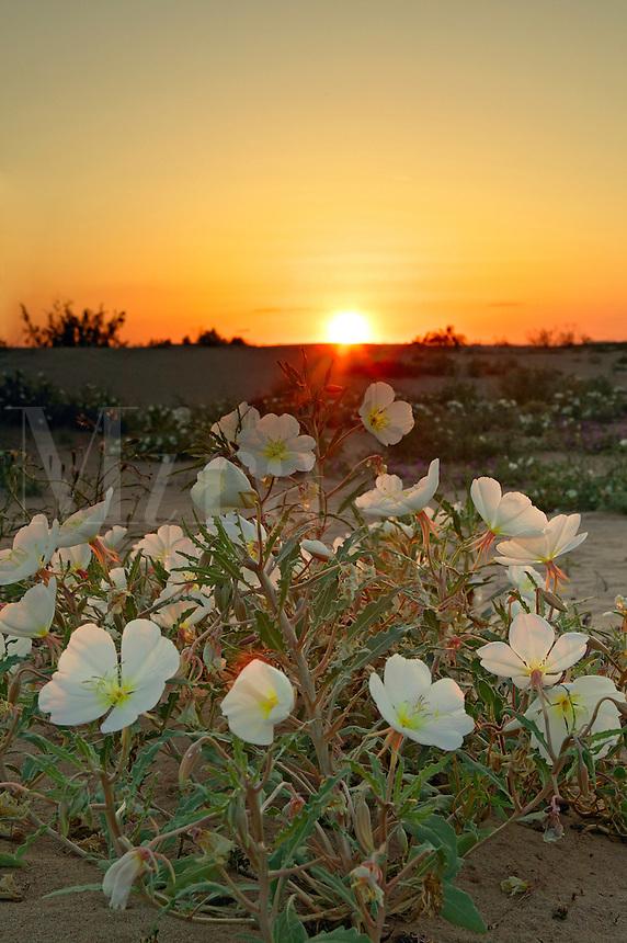 Dune Evening Primrose (Oenothera deltoides), Imperial Sand Dunes Recreation Area, Southern California