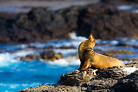 Lion seal sunbathing on a rock overlooking the Pacific Ocean's turquoise water, with black volcanic rock background, in the Galapagos Islands, Ecuador