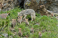 Wild Coyotes (Canis latrans)--mother regurgitating food for young pups.  Western U.S., June.