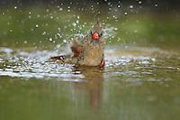 Northern Cardinal (Cardinalis cardinalis), female bathing, Hill Country, Texas, USA